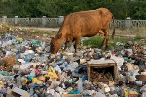 Cow on the dump